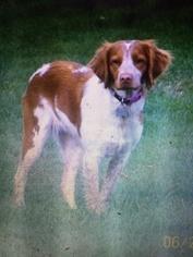 AKC American Brittany Spaniel Puppies