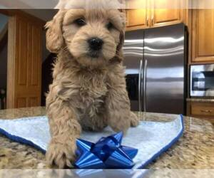 Goldendoodle Puppy for sale in LIMA, OH, USA