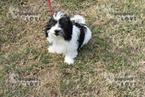 Coton de Tulear Puppy For Sale in SANGER, TX, USA