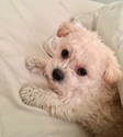 Maltese-Poodle (Toy) Mix Dog For Adoption in SUNNYVALE, CA