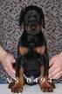 Doberman Pinscher Puppy For Sale in MURRIETA, CA, USA