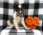 Small #10 Shetland Sheepdog