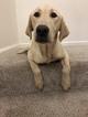 Labrador Retriever Puppy For Sale in SAN DIEGO, CA, USA