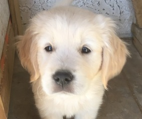 View Ad: Golden Retriever Puppy for Sale near Arizona