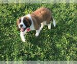 Saint Bernard Puppy For Sale in AIRVILLE, PA, USA