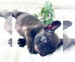 Small Photo #2 French Bulldog Puppy For Sale in CORONA, CA, USA