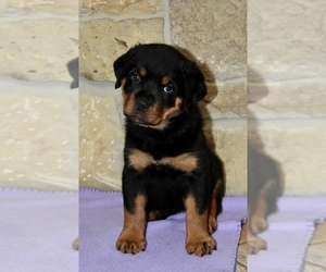 Rottweiler Puppy for sale in CELE, TX, USA