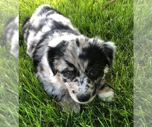 Australian Shepherd Puppy for Sale in GENOLA, Minnesota USA