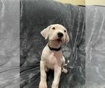 Small #15 Dogo Argentino