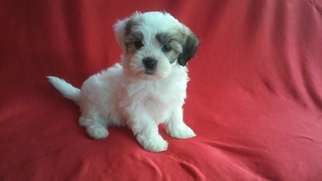 Mal-Shi Puppy For Sale in WHITTIER, CA