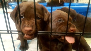 Labrador Retriever Puppy For Sale in LOS ANGELES, CA, USA