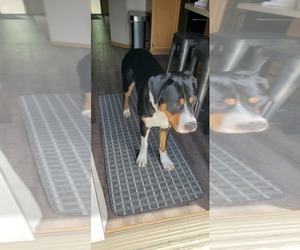 Greater Swiss Mountain Dog Puppy for sale in LAKEVILLE, MN, USA