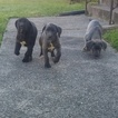 3 Female Cane Corso