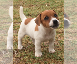 Jack Russell Terrier Puppy for sale in SIDNEY, TX, USA
