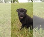 Puppy 8 Labrador Retriever-Siberian Husky Mix