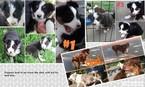 Aussie-Corgi Puppy For Sale in HOPKINTON, IA