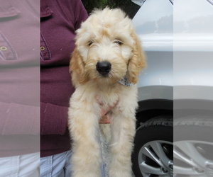 Goldendoodle Puppy for Sale in BROOKSVILLE, Florida USA