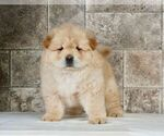 Puppy 2 Chow Chow