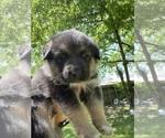 Small #14 Australian Shepherd-German Shepherd Dog Mix