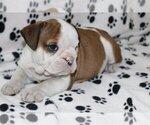Small #2 English Bulldog