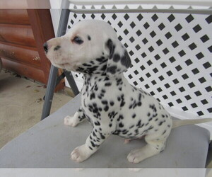 Dalmatian Puppy for sale in BREWINGTON WDS, IN, USA