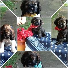 Cocker Spaniel Puppy For Sale in SOUTH BOSTON, VA, USA