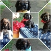 Cocker Spaniel Puppy For Sale in SOUTH BOSTON, VA, USA