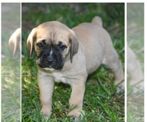 Cane Corso Puppy for Sale in HOUSTON, Texas USA