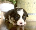 Pembroke Welsh Corgi Puppy For Sale in WEATHERFORD, TX, USA