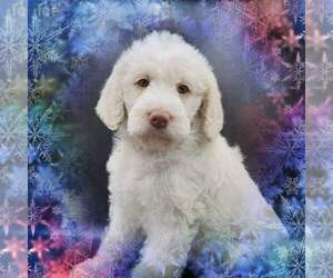 Medium Labradoodle-Poodle (Standard) Mix