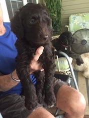 Aussiedoodle Puppy For Sale in STATESBORO, GA