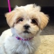 Lhasa Apso Puppy For Sale in CLEVELAND, OH