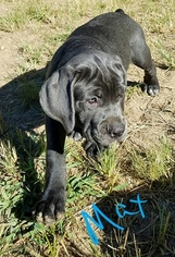 Cane Corso Puppy for sale in IMPERIAL, MO, USA