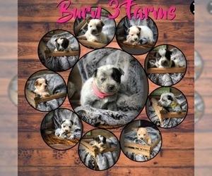 Australian Cattle Dog Puppy for Sale in BRUCE, Michigan USA