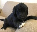 Labradoodle Puppy For Sale in JASPER, Indiana,
