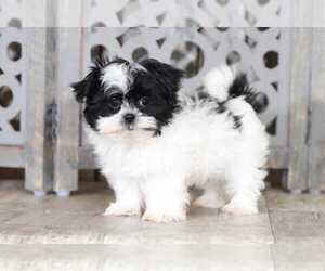 Mal-Shi Puppy for sale in MOUNT VERNON, OH, USA