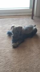 Schnauzer (Miniature) Puppy For Sale in GASTONIA, NC