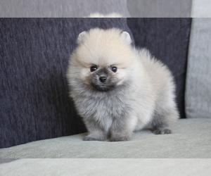 Pomeranian Puppy for sale in HOUSTON, TX, USA