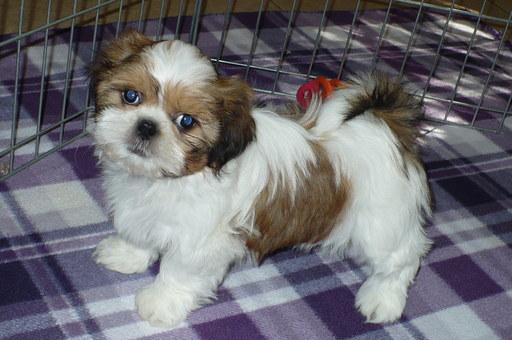 View Ad: Shih Tzu Puppy for Sale near Idaho, USA