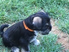 Schnauzer (Miniature) Puppy For Sale in NEWARK, DE, USA