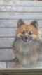 Pomeranian Puppy For Sale in ANNAPOLIS, MD,