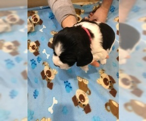 English Springer Spaniel Puppy For Sale in DENMARK, WI, USA