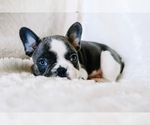 Small Photo #13 French Bulldog Puppy For Sale in HESPERIA, CA, USA