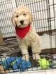 Golden Retriever-Goldendoodle Mix Puppy For Sale in COLORADO SPRINGS, CO, USA