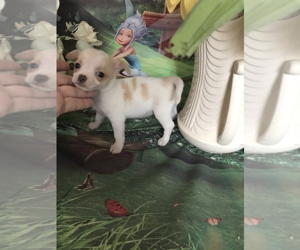 Medium Photo #4 Chihuahua Puppy For Sale in TRACY, CA, USA