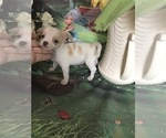 Small Photo #4 Chihuahua Puppy For Sale in TRACY, CA, USA