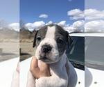 Small #2 Alapaha Blue Blood Bulldog