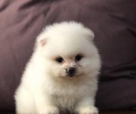 View Ad: Pomeranian Puppy for Sale near California, LOS ANGELES, USA