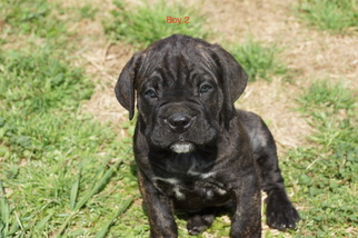 Cane Corso Puppy For Sale in FORT MITCHELL, AL, USA