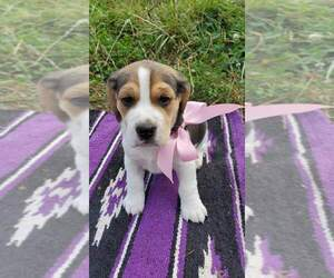 Beagle Puppy for sale in CHARLESTON, OR, USA
